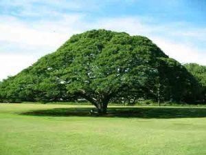 Pohon Asam Jawa